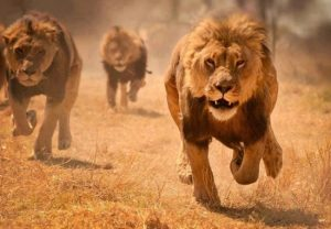 Animales-en-video-leones-corriendo